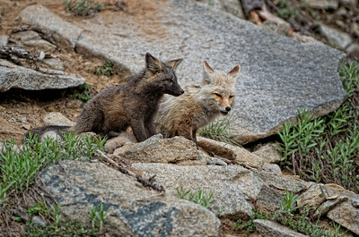 12. Mother Cascade Red Fox with her kit.