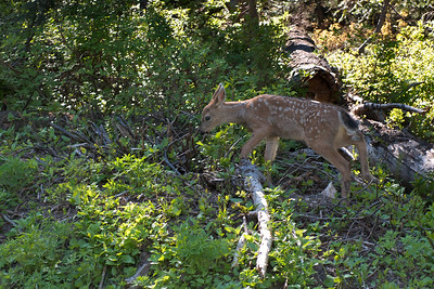 A young blacktail fawn we saw on the way up to Paradise in Mt Rainier National Park.  Her mother and twin were also nearby.