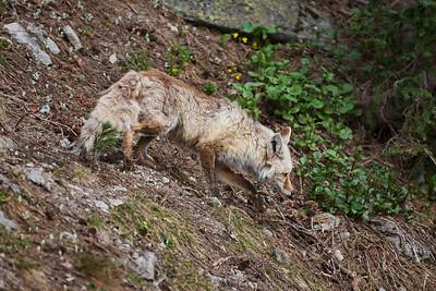 13. Cascade Red Fox, female.