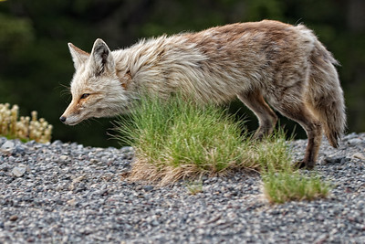 1. After leaving the Paradise parking lot, we spotted this female Cascade Red Fox.  She ran along side our car and then up into the brush where she met up with her two kits.