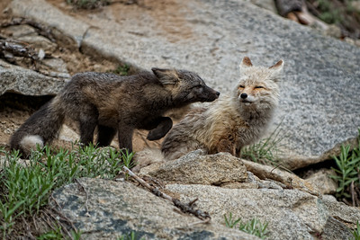 10. Mother Cascade Red Fox with her kit.
