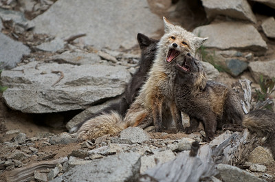 2. Mother Cascade Red Fox with her 2 kits.