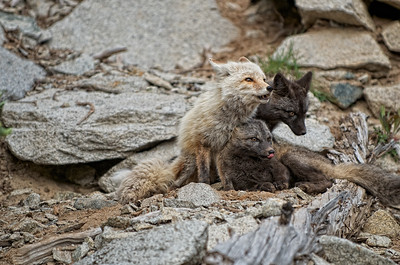 4. Mother Cascade Red Fox with her 2 kits.
