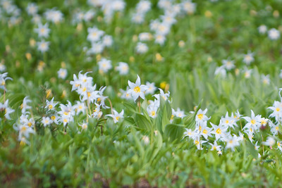 This was a whole hillside of glacier lilies