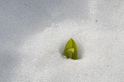 The glacier lilies are peeking their heads through the snow.