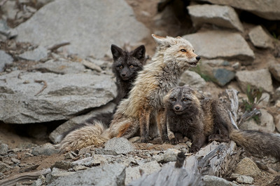 3. Mother Cascade Red Fox with her 2 kits.
