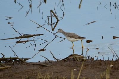 Greater Yellow Legs - a type of shore bird found here in the winter.