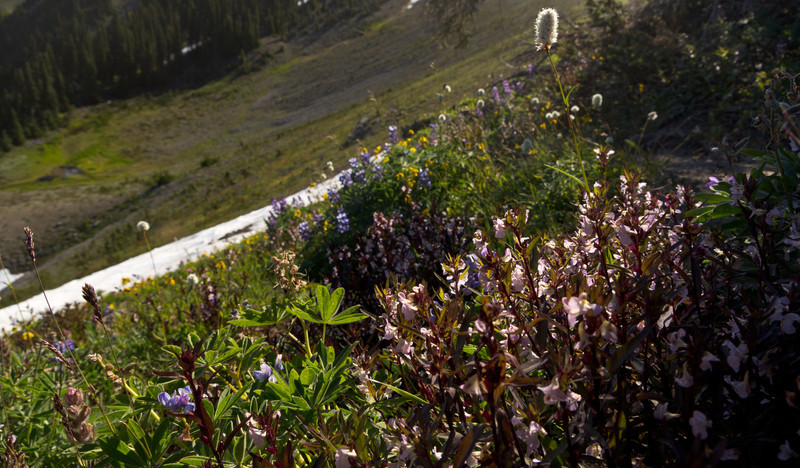 Roadside wildflowers in the early morning light on the road to the trail head at Obstruction Point.