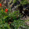 Bright Paintbrush flowers are but one of many alpine flowers keeping the bees happy.