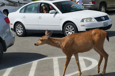Parking lot deer - Hurricane Ridge