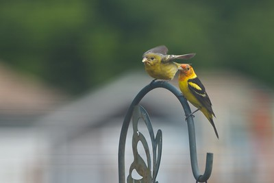 The Western Tanager has brought his baby to the feeders.