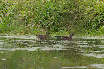 Female Wood Duck with her young.