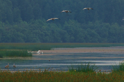 Sandhill Cranes coming into the evening roost.  White Egrets in the background.