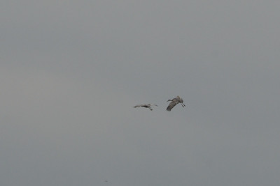 Sandhill Cranes coming in for a landing.