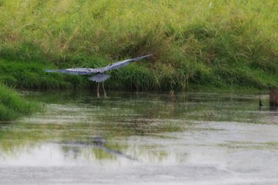 Great Blue Heron landing.