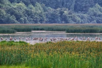 Sanhill Cranes