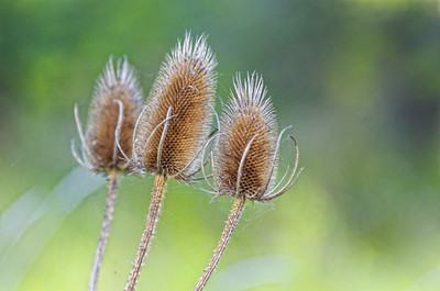 Wild Teasel - gone to seed.