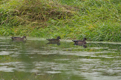 Female Wood Duck with her young.  The one on the right is an immature male - possibly the one on the left also.