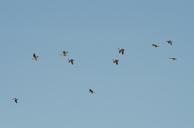 Dusky Canada Geese in formation - sort of!