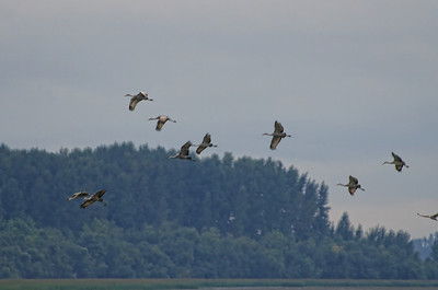 A group of Sandhill Cranes approaches the roost.