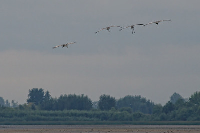 More incoming Sandhill Cranes.