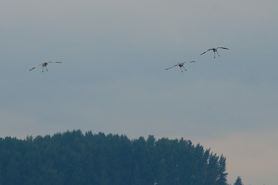 Incoming!  Sandhill Cranes.