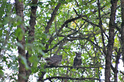 Great Horned Owls - we saw a total of three but could hear four in this area.