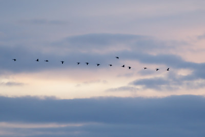 Last light of the day - geese on the move.