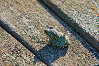 A little green frog seems to be also enjoying the sunshine on a wooden bench.