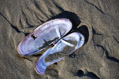 Beachcombing - Razor Clam Shell