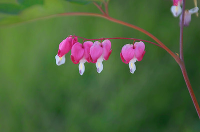 Bleeding Hearts blooming in a Friday Harbor yard.