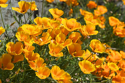 California Poppies in bloom in downtown Friday Harbor, WA