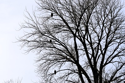 Three eagles in one tree.
