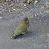 Kea at lookout point