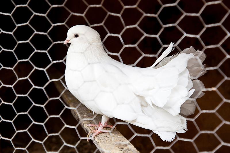 Pasabagi, Cappadocia<br /> <br /> A fan tail pigeon kept as pet by one of the vendors at Pasabagi.