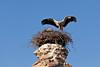 Stork nesting on aqueduct ruins, Selcuk