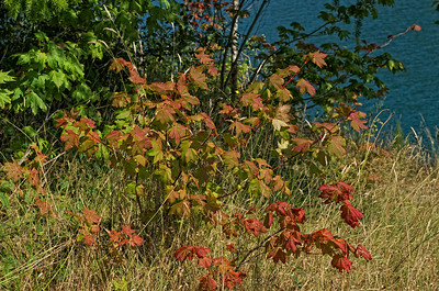 A sure sign that fall is not far off - The vine maple are changing colors