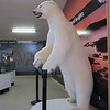 "A ""not-so big"" polar bear in the NWT office"