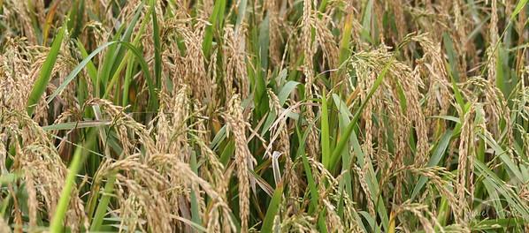 Rice  Arroz