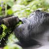 Horské gorily se pořád krmí. Co taky jiného dělat v pralese :) Za den si dá dospělák klidně 30kg potravy. Je téměř raritou vidět gorilu pít, protože většinu vody získává také z trávy.