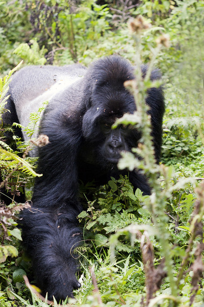 Mistr Bwenge osobně. Asi 2m ode mě. Celou dobu se krmil a z ničeho nic se zvedl a šel k nám. Strážce mu dal zvukem najevo, že od nás mu nebezpečí určitě nehrozí a tak se zastavil a začal se zase ládovat. Gorily ještě žádnému turistovi neublížili.
