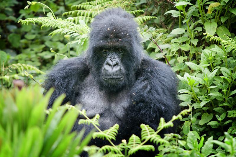 Jedno z pravidel před návštěvou pralesa zní..nikdy se nedívejte gorile přímo do očí..bere to jako výzvu k boji...nevím zda to platí i pro objektiv nebo ne :)