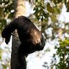 Uganda - Kibale National Park. Největší pozornost v tomto parku je jistě věnována Šimpanzům. Po menším divadelním představení našeho řidiče a průvodců (aby z nás vytáhli prachy za vstup) jsme vyrazili na hledání šimpanzů. Nádhera. Šimpanze jsme slyšeli z hlubokého pralesa a byl to opravdu řev na který se nezapomíná. Po hodině hledání jsme je našli..bohužel na stromě v protisvětle odkud na nás házeli ovoce a poté na zemi v šeru. Nicméně jít 2m za šimpanzem a takto ho sledovat hodinu bylo super. Tak super, že jsme s Jardou ztratili naší skupinu..lost in jungle :) Ačkoliv je šimpanz daleko menší než gorila, tak je nebezpečnější a jistý respekt byl na místě...Náš průvodce si ještě asi 35x řekl o další prachy za to jak byl šikovnej a dovedl nás k nim. Jakoby těch 120 USD nebylo málo.