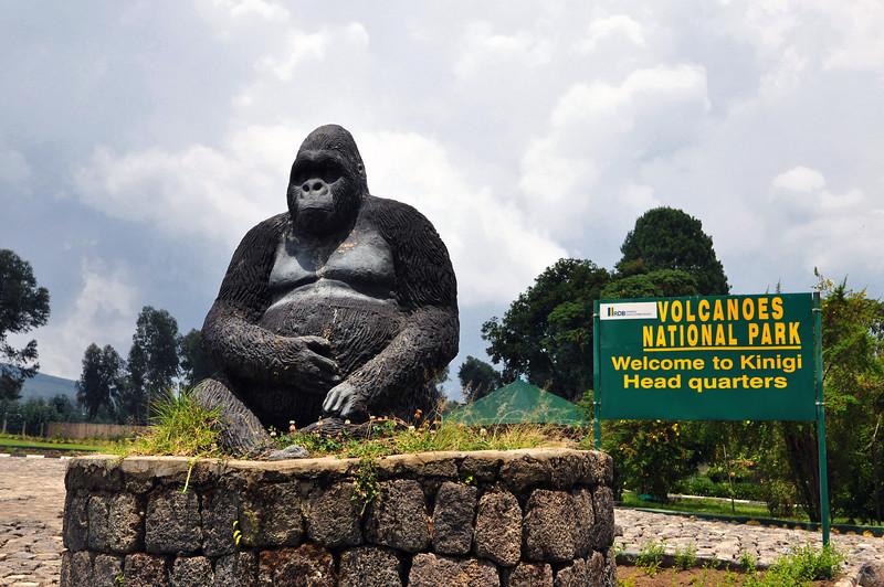 """Volcanoes National Park. Tento park se rozkládá na území 3 států (Rwanda, Uganda a D.R.Kongo). Místo, kde žije posledních asi 700ks horských goril. V žádné ZOO na světě nejsou, protože nepřežijí v zajetí. My si vybrali park na rwandské straně. Člověk může být v jejich společnosti pouze hodinu denně. Za tuto hodinku se platí 500 USD. Peněz nelze litovat, protože velká část z nich jde zpět na ochranu goril. Nám byla vybrána rodinka o 14 členech jménem Bwenge podle jejího hlavního samce. 2 hodinky putování s průvodcem, nosičema a ozbrojenou stráží (kvůli pytlákům a divoké zvěři - gorilky jsou mírumilovné) přes políčka domorodců a pralesem. Opravdu hodně silný zážitek...často si říkám co asi dělá """"moje"""" rodinka.."""