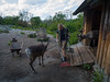 And in the animal area, a domestic reindeer exhibit. Man... those guys look DELICIOUS!
