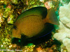 Intermediate Black Surgeonfish