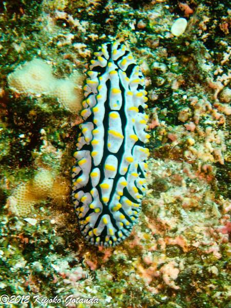 Scrambled Egg Nudibranch