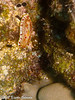 Redspotted Nudibranch