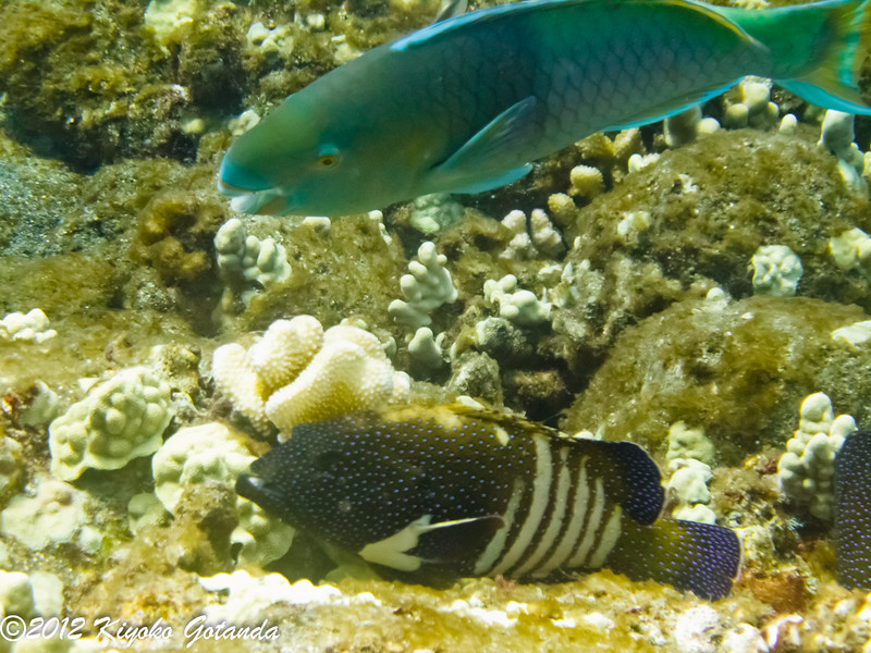 Parrotfish and Peacock Grouper