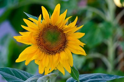 Sunflower- Dockside Oak Bluffs Harbor